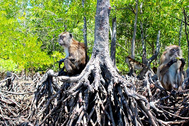 Koh_Lanta_Sightseeing_Sehenswürdigkeiten_Reiseblog_Mangroven_Sümpfe_Affen