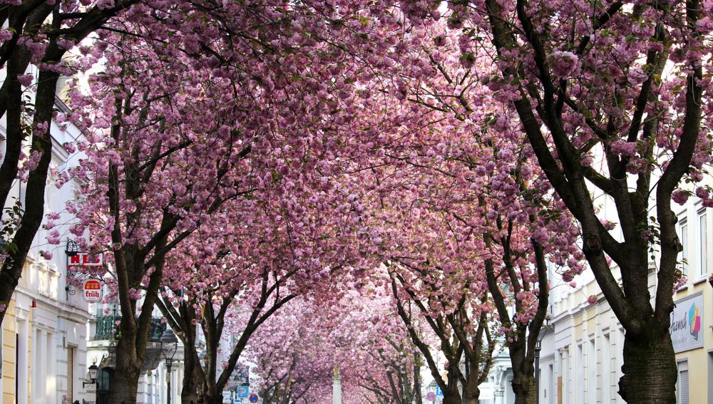 Kirschblüten Heerstraße Bonn Cherry Blossom rosa Bäume Frühling Bonn Sehenswürdigkeit Blog Bonn