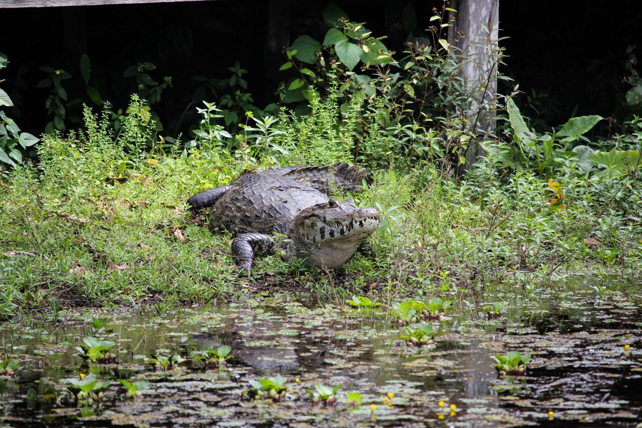 2 Wochen Rundreise Brasilien Top Brasilien Route Highlights Pantanal Krokodil Reiseblog
