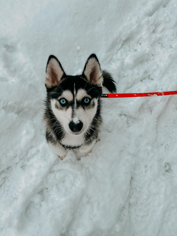 Reisen mit Hund Pomsky ausgewachsen blaue Augen Husky Schnee Reiseblog