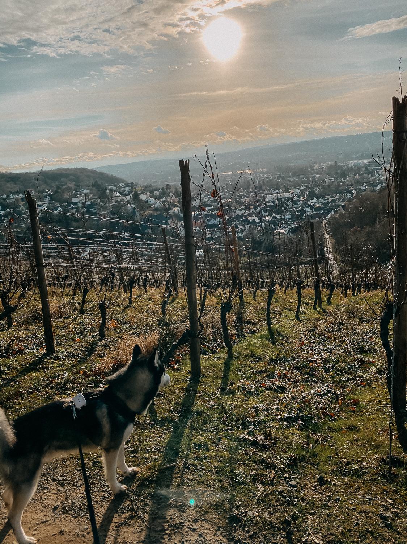 Bonn Wanderungen Beste Wanderroute Oberdollendorf Wandern mit Hund Weinbergewanderung Ausflug NRW Reiseblog 9
