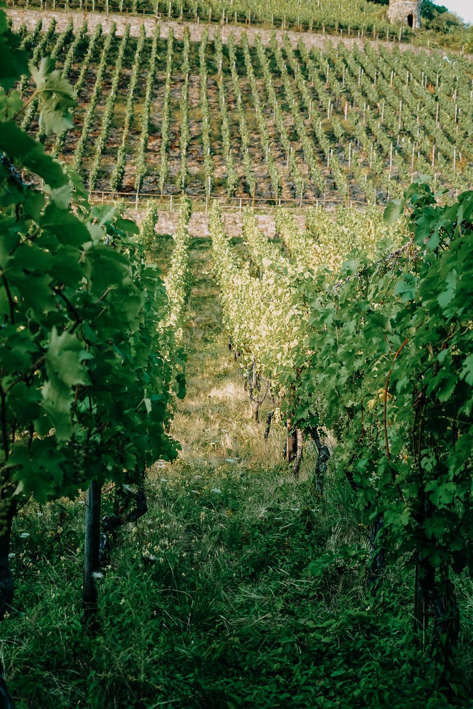 Top Wanderungen Bonn Weinwanderung Rhöndorf Wanderung Weinberge Bonn NRW Top Wanderungen Reiseblog Wandertipps Wanderrouten 3